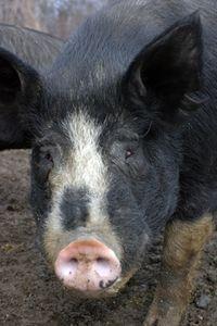 SB pig 4x6