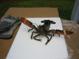 05lobsterfest_looselobster