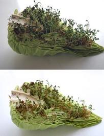 Alfalfa_cabbage