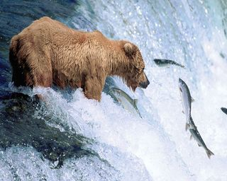 Grizzly_bear_gone_fishing1280x1024