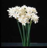 Narcissus_1